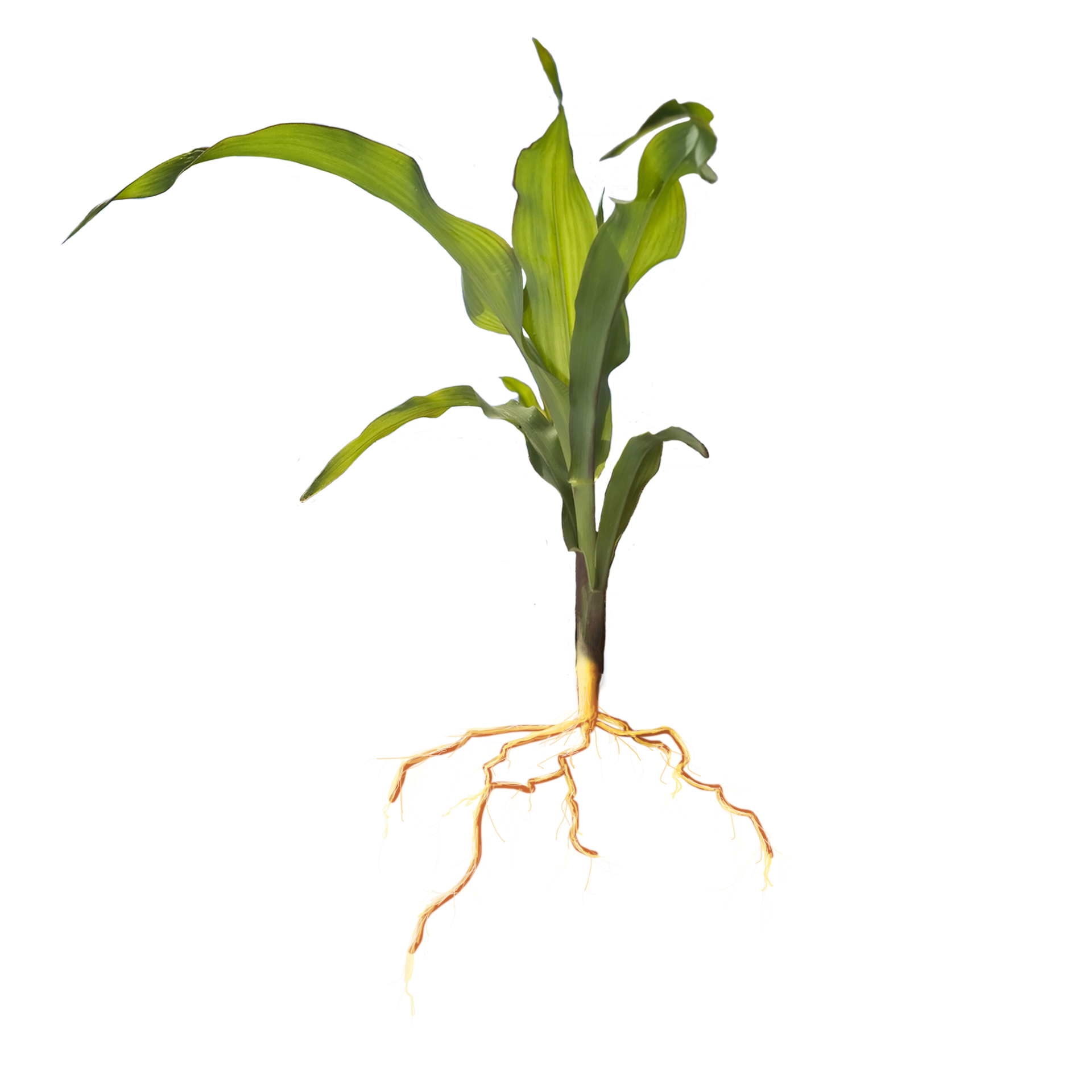 picture of corn plant
